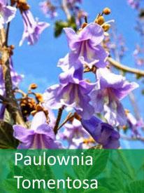Forstpflanze - P. Tomentosa