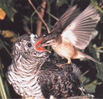 Das Pflegeelterndasein ist für diesen winzigen Vogel sehr beschwerlich.