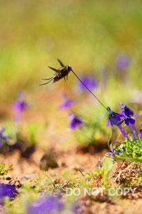 筒状の花に訪花した口吻が長いツリアブモドキ 山口 進