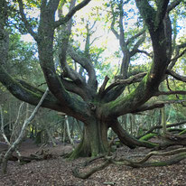 Mighty Oak in the New Forest