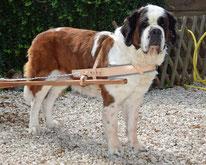 harnais d'attelage chien en cuir