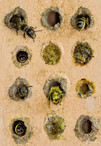 Insektenhotel Nisthilfe Insektennisthilfe gebrannter Ton Scherenbiene  insect nesting aid insect hotel mason bee terra cotta wildbee scissor bee