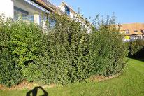 Hecken, Sichtschutz, , Amriswil, Gartenbau, Gärtner, Gartengestaltung, Lorandi