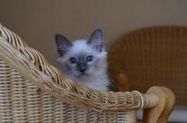 Heilige Birma Kitten Dresden zu verkaufen