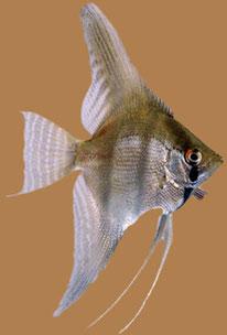 Variedad de peces amazónicos.