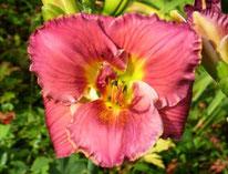 Lilac Surprise