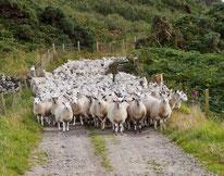 Schafherde in Schottland