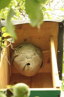 Nest am neuen Standort nach weiteren 2 Wochen.