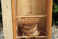 Nest im neuen Hornissenkasten.