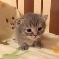 マンチカン 子猫 グレー
