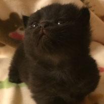 マンチカン 子猫 ブラック