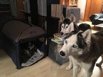 Die Husky`s schauen ihr eigenes Trainingsvideo vom Morgen an. (Arizona im Zelt, Amarok und Yukon)