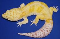 Aurora - White & Yellow Bell Albino