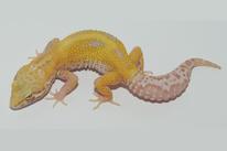 Snowglow- Creamsickle Albino (Alle Albino Linien möglich)