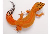 Green & Tangerine (Linienzucht von Mateusz Hajdas, Ultimate Gecko)