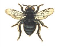 Gemeine-Pelzbiene