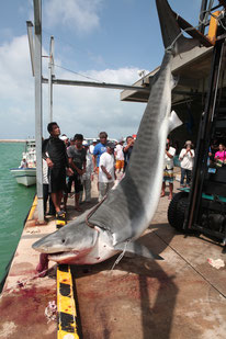 水揚げされた大物のサメ=15日、八重山漁協