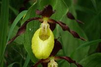 Der Orchideen Weg bei Lichtenegg - mit Frauenschuh Orchideen