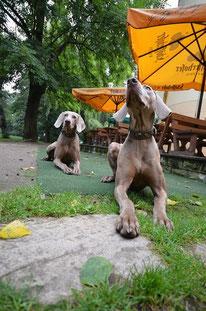 Unsere Weimaraner Hunde Nancy und Nicky
