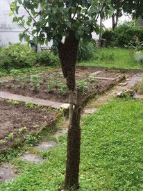 doppelter Bienenschwarm auf Stamm von Apfelbaum in Schorndorf