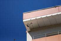 Abfliegende Mausegler an der Kastenkolonie an der Ringstraße. Foto: N. Gaedecke.