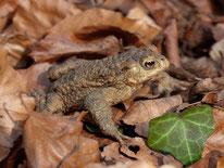 Erdkröte im Laub. - Foto: Kathy Büscher