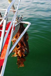 Angeln mals anders: Kelp im Anker, aber er hielt