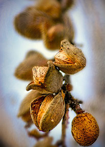 Foto: flickr - cc lizensiert - 'Almonds fit to Burst!' von Mark Chinnick
