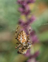 Jagdrevier Garten Gartenkreuzspinne Insekten Gift Spinnennetz NABU Düren