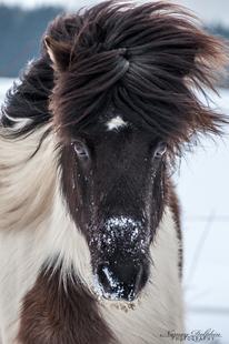 Isländerstall in München, Zucht und Verkauf, Harmonisch reiten auf Ponys, Dressur