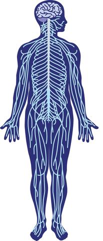 かぶらぎ整骨院・整体院ブログ 体内の神経線維イメージ