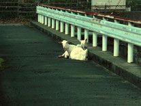水路橋に戻るとヤギさんが休憩中でした 今からこの橋を渡ります