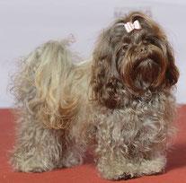 Wikipedia_Svenska MässanGrupp 9, RUSSKAYA TSVETNAYA BOLONKA, Cocoa Love Canis Bohemia  MyDOG, nordens största hundevenemang