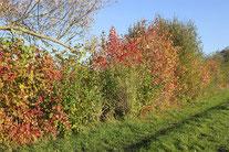 Herbstlich bunte Hecke - Foto: Helge May