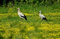 Weiß-Storch