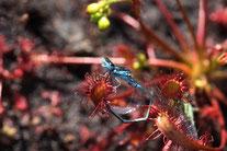 Sonnentau, der gerade eine Libelle gefangen hat (Foto: J.Podgorski)