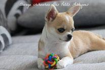 Chihuahua aux yeux bleus de notre Elevage chihuahua