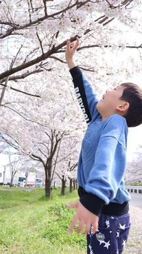 お花見の写真フリー素材 Cherry-blossom viewing photo free material