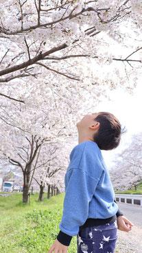 桜のお花見の写真フリー素材 Cherry-blossom viewing photo free material