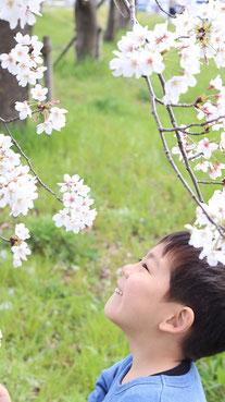 桜を眺める子供の写真フリー素材 Children's photos looking at the cherry blossoms Free material
