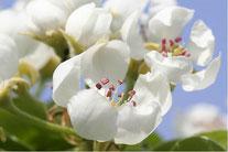 Schneeglöckchen. Foto: Helge May