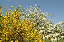 Blühender Besenginster und Weißdorn (Foto: Roland Steinwarz)
