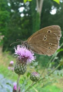 Disteln werden gerne von Schwebfliegen, Hummeln und Schmetterlingen besucht