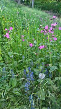 Auf dieser Wiese (nährstoffreicher Lehmboden, Nordhang) blühen im Frühsommer Günsel, Löwenzahn, Rote Lichtnelke, Kriechender Hahnenfuß, Beinwell. Nichts hiervon wurde künstlich eingebracht.