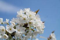 Blüten einer Vogel-Kirsche (Foto: Roland Steinwarz)