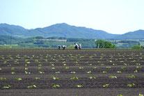カボチャ畑(2012-6月)