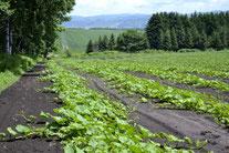 カボチャ畑(2012-7月)