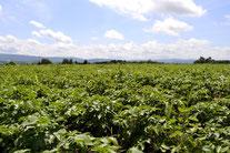 ジャガイモ畑(2012-7月)
