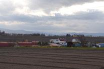 収穫後のホナミの畑(2011-12月)