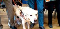 Un chien guide d'aveugles de l'école de chiens guides d'aveugles de Roncq au Forum Culturel de la Différence de Crépy-en-Valois en 2017